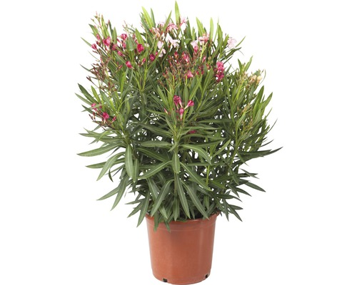 Plante véritable Laurier Rose en pot déco